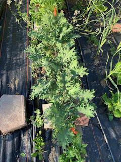 Overhead photo of Russian Red Kale