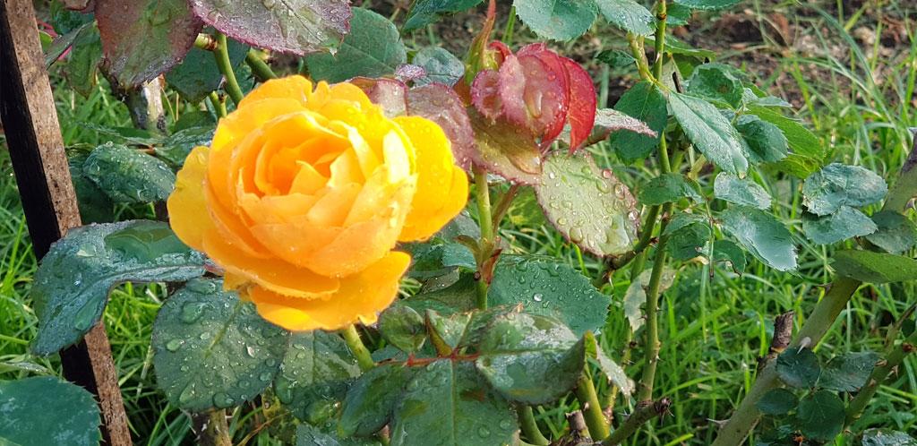 ดอกกุหลาบสีส้มเหลือง