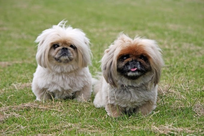 Chinese Dog Breeds - Top 10 Lovable Chinese Dogs You Should Know