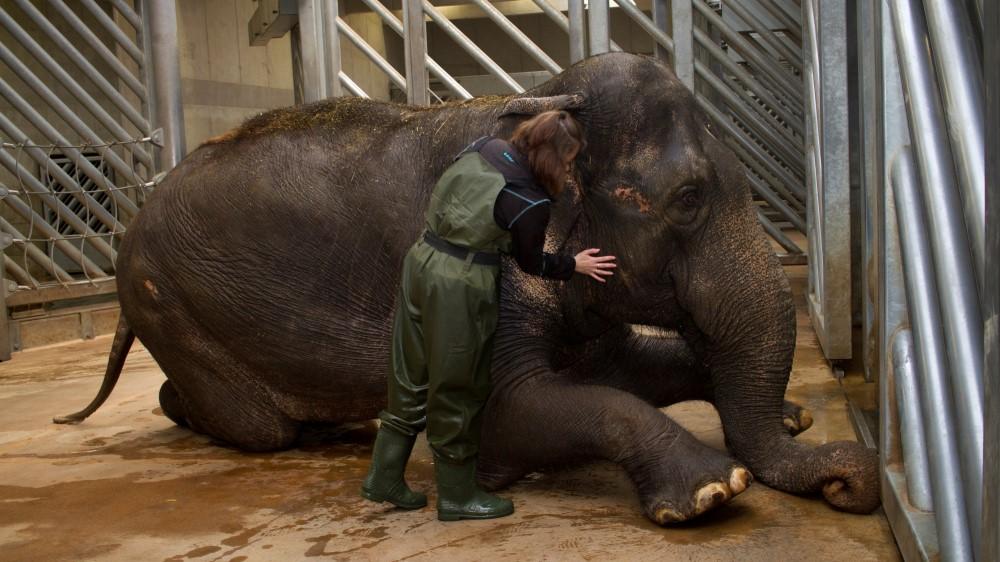 Trabajar en el zoo: Cuidados podologicos en elefantes