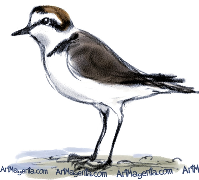 Kentish Plover sketch painting. Bird art drawing by illustrator Artmagenta