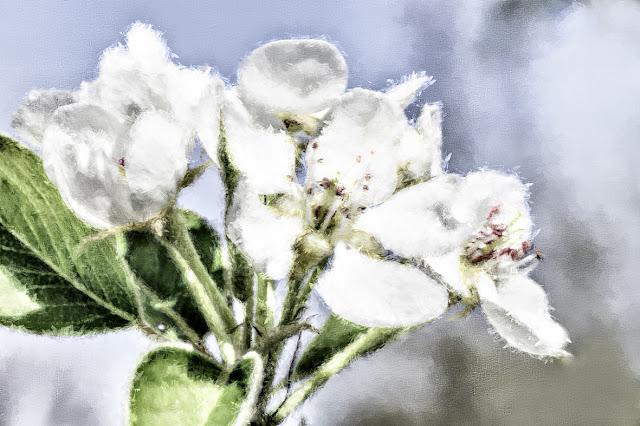 White blossom in spring