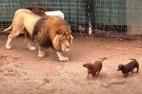 When Tiny Wiener Canine Obtains Too Close To A Huge 500lb Lion, onlookers Panic