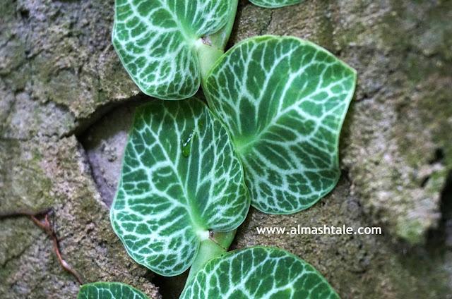 نبات الرافيدوفورا Rhaphidophora
