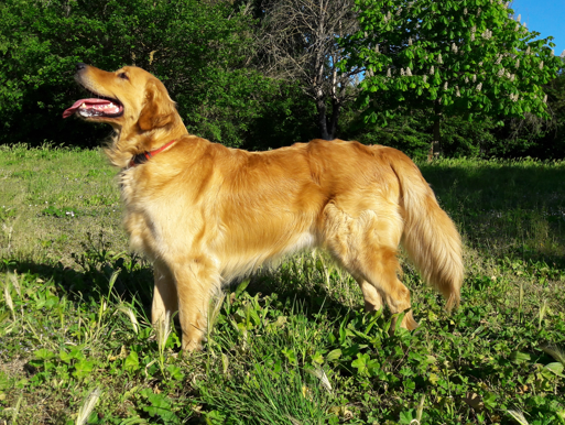 which is best dog breed for families, dog breeds for family, golden retriever pure breed