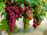 Panduan Lengkap Cara Sukses Budidaya Anggur di Halaman Rumah