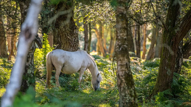 New Forest Hampshire (England)
