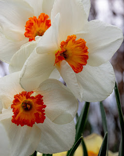 A closeup of three white Narcissus