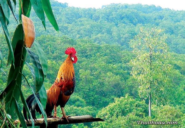Tiếng gà gáy xốn xang nơi thôn dã, nghe nao lòng khắc khoải nhớ làng quê