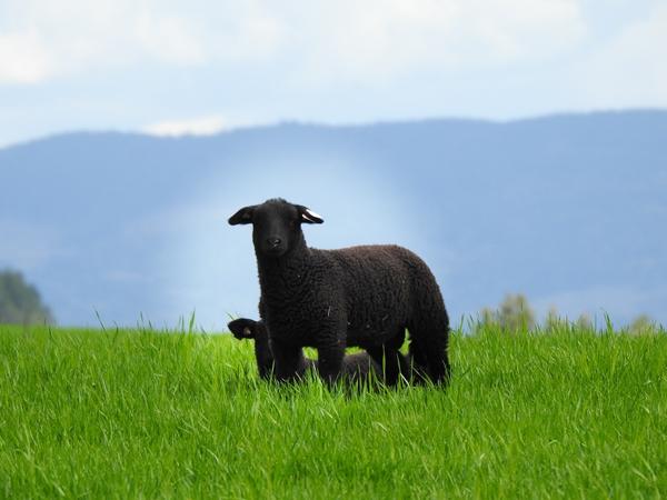 familiens sorte får