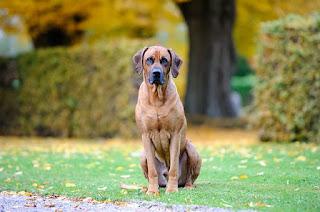 كلب ريدج باك اسعاره وصفاته وتاريخة واكله
