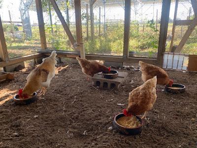 Chickens eating breakfast on a solar sharing farm in Tsukuba, Japan