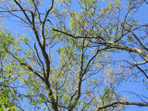 oak trees with baby leaves