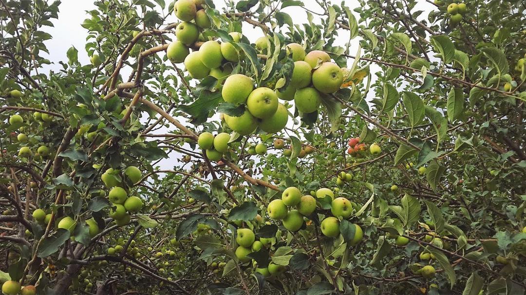 Buruan Borong! benih buah apel malang 5 seed Kota Malang #bibit buah genjah murah