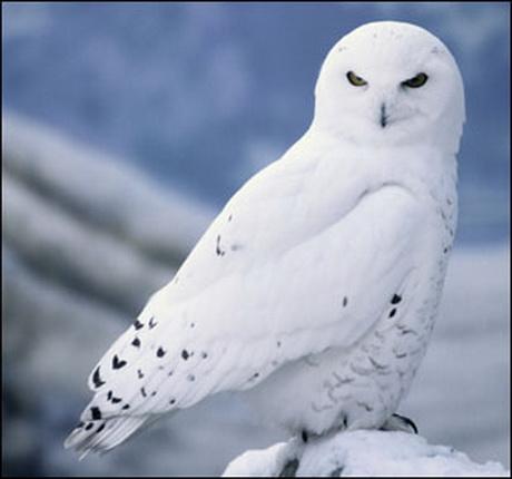 Snowy Owl Animal Wildlife