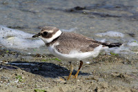 Common Ringed Plover juvenile – Farmoor Reservoir, UK, - Sept. 2014, photo by Charles J. Sharp