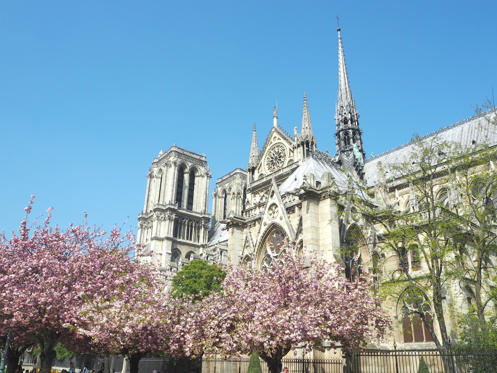 Notre Dame Paris with cherry tree in blossom