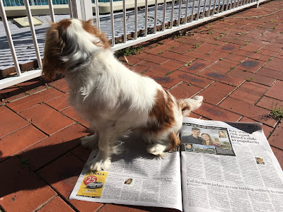 white and brown puppy sits on newspaper spread open