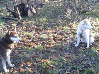Two husky dogs in the park surrounded by brown leaves