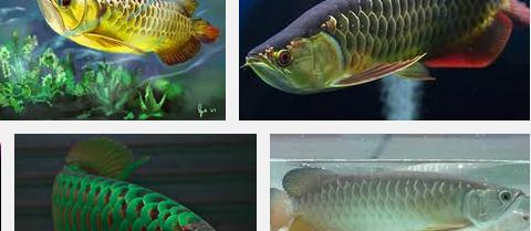 Ini Dia Cara Praktis Budidaya Ikan Arwana Golden Red Asal Indonesia Serta Harganya