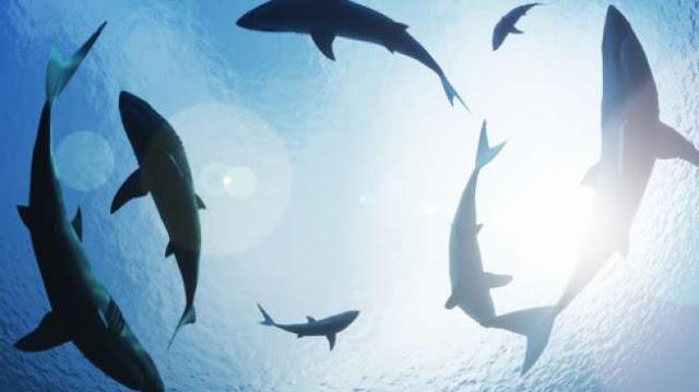 Duh, 150 Ribu Ikan Hiu Terancam Dibantai Demi Pembuatan Vaksin Covid-19