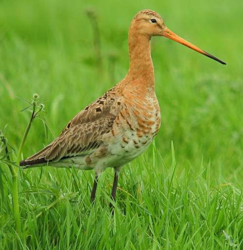 Indian birds - Picture of Black-tailed godwit - Limosa limosa