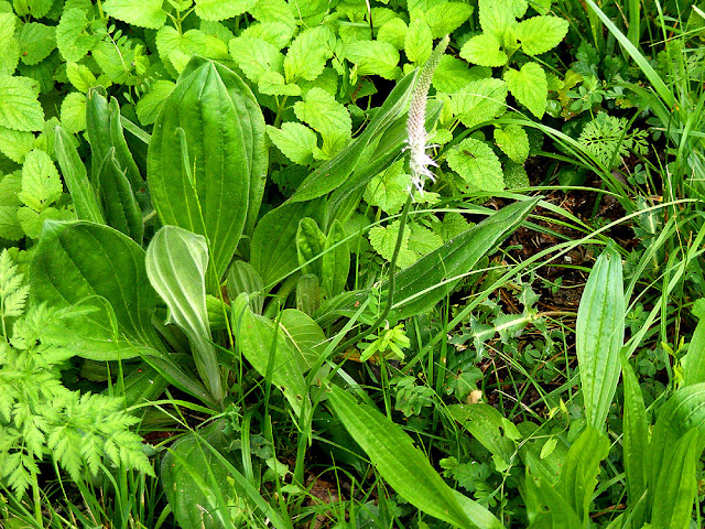 Hoary Plantain Plantago media.  Indre et Loire, France. Photographed by Susan Walter. Tour the Loire Valley with a classic car and a private guide.