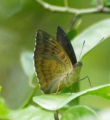 Malay Baron (Euthalia monina monina)