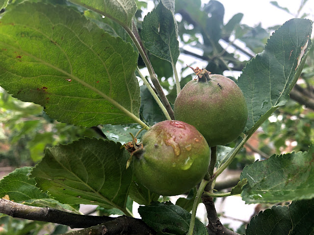 Cluster of small apples on the tree