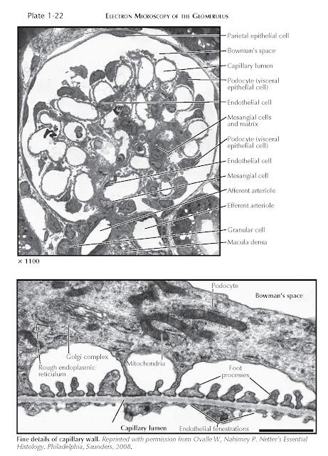 ELECTRON MICROSCOPY OF THE GLOMERULUS