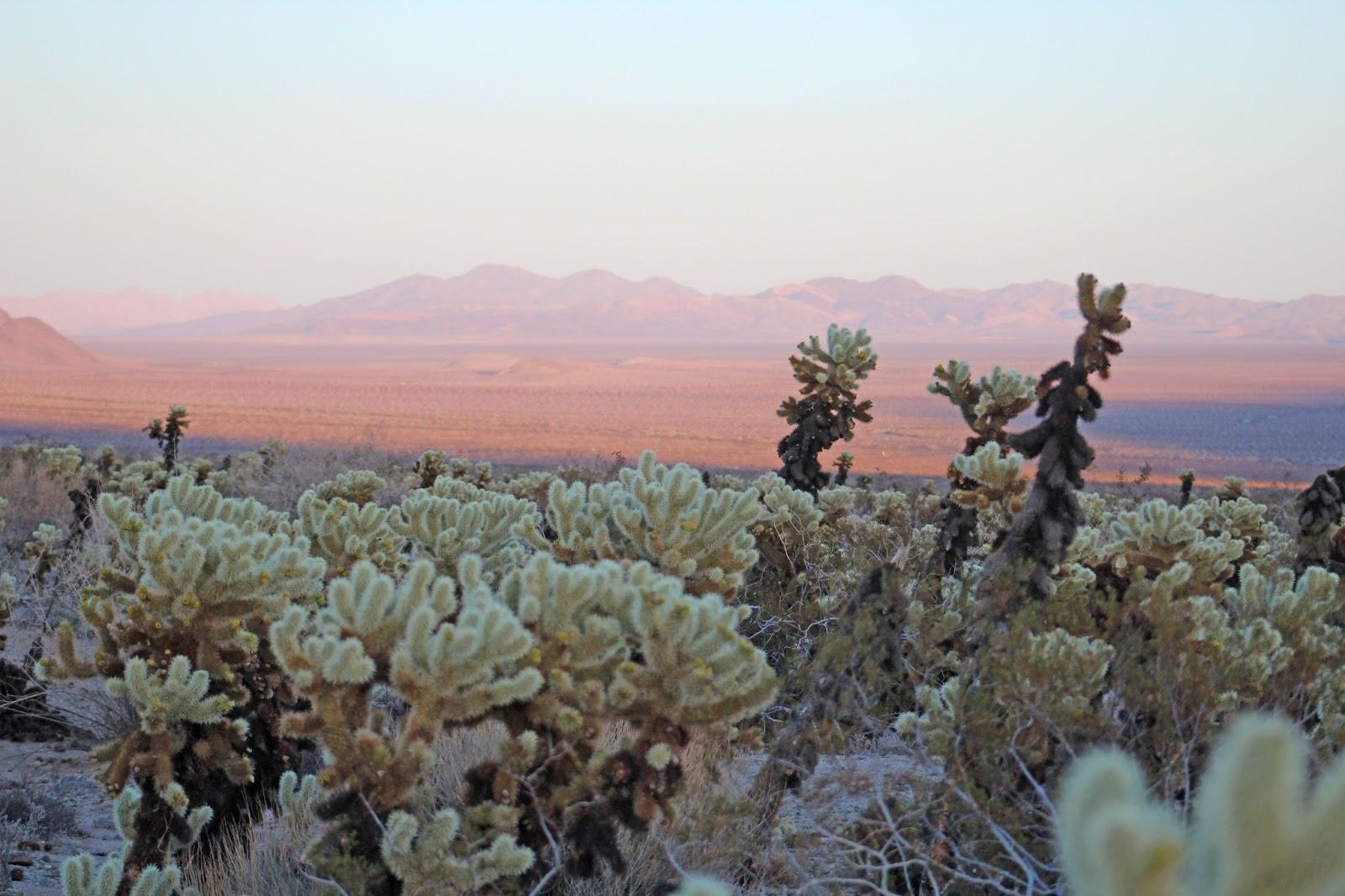 cholla cactus garden sunset 10