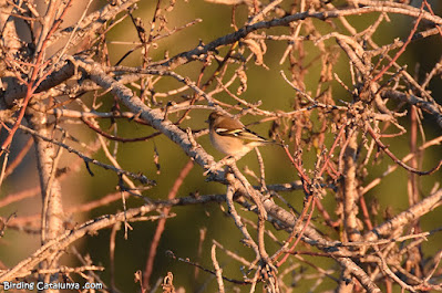 Pinsà comú (Fringilla coelebs)