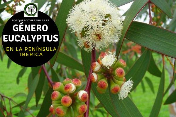 Lista de Especies del Género Eucalyptus, Familia Mytraceae en la Península Ibérica