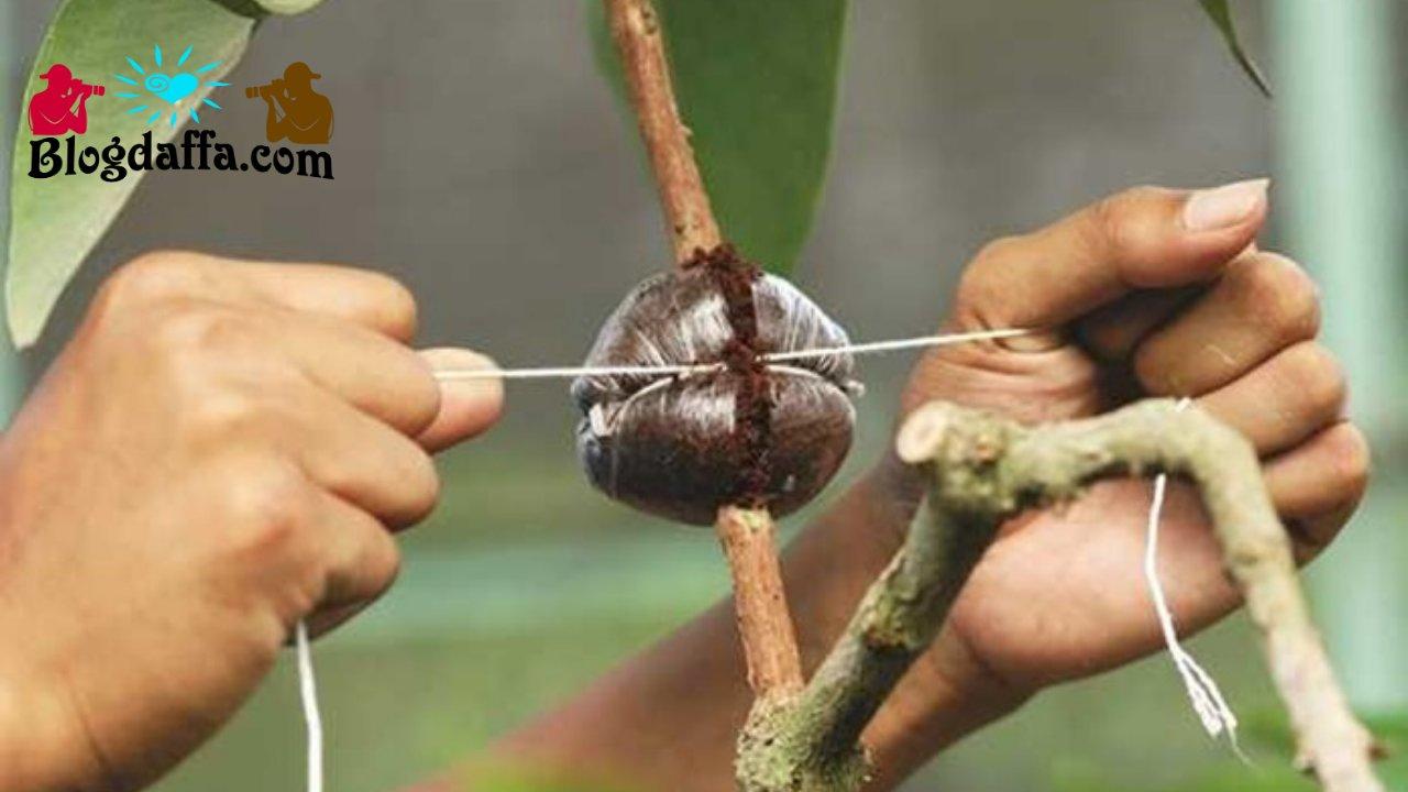Membeli bibit tanaman dari hasil vegetatif