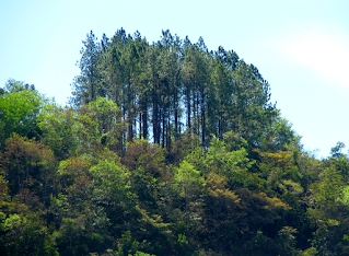 pine trees in Puriscal
