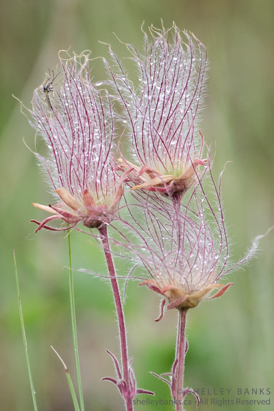Three-flowered Avens. Copyright © Shelley Banks, all rights reserved