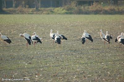 Cigonya blanca (Ciconia ciconia)