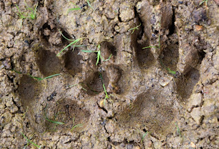 Jada's footprints in the mud