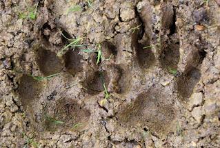 Jada's footprints in the mud