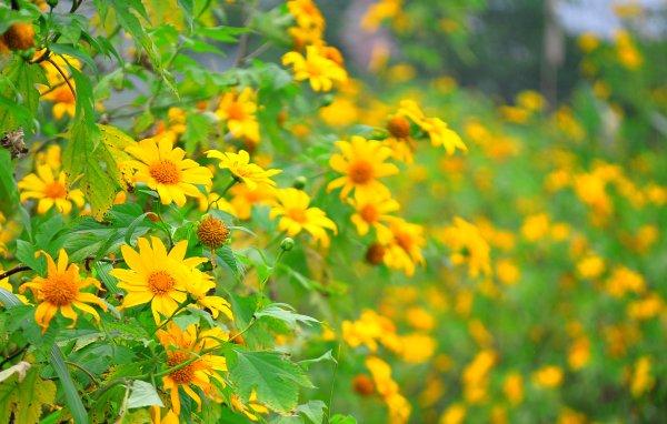 Sắc vàng quyến rũ của hoa dã quỳ.