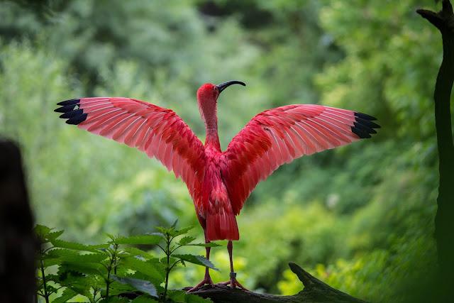 el origen y evolución de las aves modernas - ave con plumaje rojo en la selva