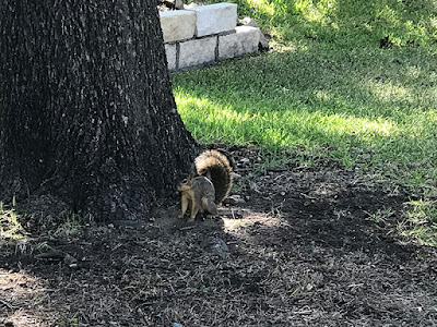 Startled this Squirrel During My Walk to the Pool - DeCordova Bend, Texas