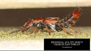 Mengenal Apa Itu Semut Charlie dan Tomcat