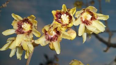 Plantas de invierno: el macasar (Chimonanthus fragans)