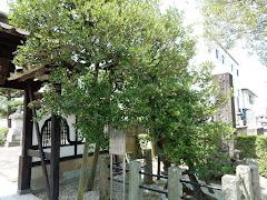 清巌寺:稚児の樹