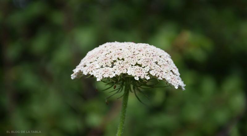 flores silvestres color blanco umbela