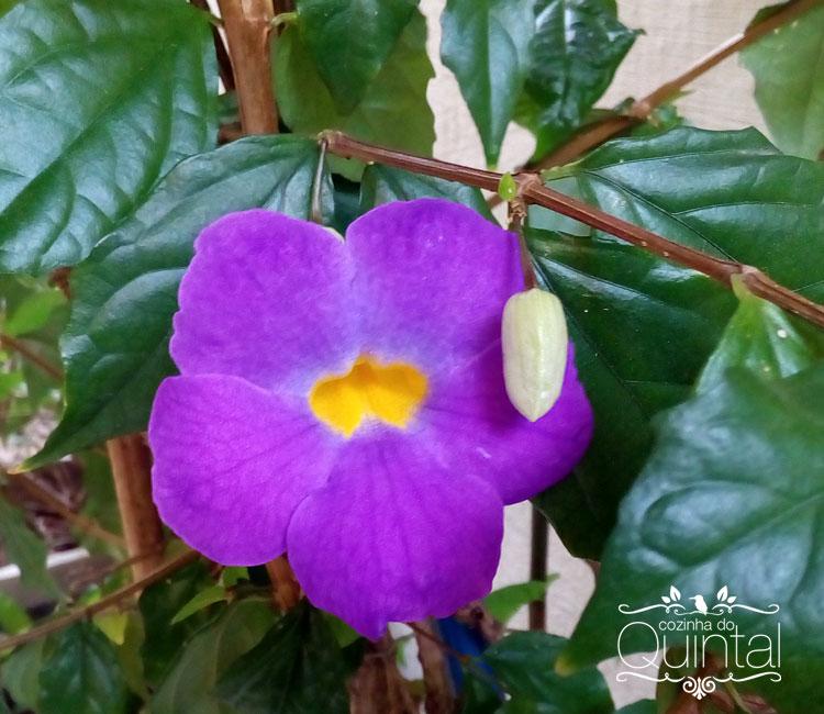 A tumbérgia pode ser arbustiva ou trepadeira. Esta é arbustiva, está em vaso. Dá flor todo santo dia!
