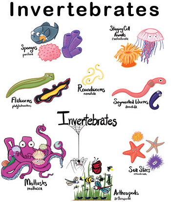 Apa Itu Animalia dan Avertebrata Pengertian Animalia Animalia adalah sekelompok organisme paling beranekaragam. Kelompok ini sering disebut juga sebagai hewan.   Secara biologi, manusia sendiri dapat dimasukkan ke dalam kelompok ini berdasarkan kesamaan dan kedekatan diri.  Apa Itu Avertebrata Avertebrata berasal dari bahasa Yunani, an yang artinya tidak dan vertebrata yang berarti tulang belakang.  Avertebrata mencakup kelompok hewan yang tidak memiliki tulang belakang.  Jenis Jenis Avertebrata Porifera Potifera berasal dari dua kata yakni porus yang artinya pori/lubang kecil, dan ferre tabf berarti membawa. Jadi Porifera adalah hewan yang mengandung banyak pori-pori atau lubang kecil (mikrokopis).   Porifera belum memiliki sistem pencernaan, saraf dan peredaran darah. Hewan ini memiliki sistem sirkulasi air yang unik, di mana sistem ini berfungsi juga sebagai alat makan dan pernapasan.   Bereproduksi secara seksual dengan pembuahan sel ovum oleh sperma pada tubuh yang sama, sedangkan secara aseksual dengan pembentukan tunas dan pembentukan gemula.   Hewan ini hidup melekat/sesil (dewasa) pada suatu substrat meski adapula yang hidup bebas (larva). Habitatnya tersebar di laut dan sepanjang pantai.  Ctenophora Ctenophora berasal dari bahasa Yunani, terdiri dari dua kata Ktenos; Kteis yang artinya sisir dan phoras yang artinya pembawa.   Ctenophora adalah hewan yang seperti memiliki sisir yang disebut sillia dan digunakan sebagai alat gerak. Kelompok hewan ini biasa disebut sebagai karang dan berfungsi secara ekologis sebagai pelindung pantai dari gelombang laut.   Ctenophora termasuk ke dalam kelompok Coelenterata yakni hewan berongga, di mana tubuhnya hanya memiliki jaringan sederhana berupa dua lapis sel yakni sel eksternal dan sel internal. Dua fase utama kelompok ini adalah fase medusa dan polip.  Cnidaria Cnidaria berasal dari bahasa yunani cnidos yang artinya jarum penyengat. Cnidaria memiliki zat penyengat yang disebut Knidosit dan berguna sebagai alat pertaha
