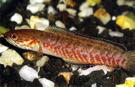 Channa amphibeus - 50 Jenis Ikan Channa Terlengkap beserta Harganya