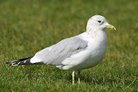 Mew Gull, winter plumage – Feb. 2010 – photo by NotFromUtrecht